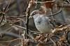 House sparrow, Gråspurv, Passer domesticus, Male, Gl. Holte, Danmark, Nov-2014