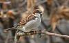 House sparrow, Gråspurv, Passer domesticus, Male, Gl. Holte, Danmark, Feb-2015