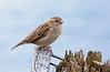 House sparrow, Gråspurv, Passer domesticus, Nivå, Danmark, Sep-2013