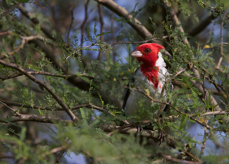 Red-crested cardinal, Cardenal de copete rojo, Paroaria coronate, Carmelo, Uruguay, Dec-2012
