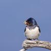 Barn Swallow, Landsvale, Hirundo rustica, Amager, Danmark