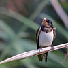 Barn Swallow, Landsvale, Hirundo rustica, Juvenile, Amager, Danmark
