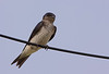 Southern rough-winged swallow, Golondrina cuello canela, Stelgidopteryx ruficollis, Aguas Dulces, Uruguay, Dec-2012