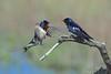 Barn Swallow, Landsvale, Vestamager, Danmark