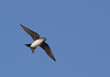 Southern rough-winged swallow, Golondrina cuello canela, Stelgidopteryx ruficollis