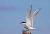 Arctic tern, Havterne, Sterna paradisaea, Adult summer, Flatey, Iceland