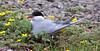 Arctic tern, Havterne, Sterna paradisaea, Adult summer, Westfjords, Iceland
