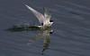 Arctic tern, Havterne, Sterna paradisaea, Adult summer, Arnarstapi, Iceland