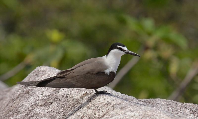 Bridled Tern, Brilleterne, Sterna anaethetus, Adult, Cousin island, Seychelles, Feb-2011