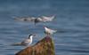 Common Tern, Fjordterne, Nivå, Danmark
