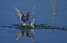 Common Tern, Fjordterne, Sterna hirundo, Adult breeding, Hallands Väderö, Sverige