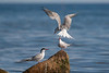 Common Tern, Fjordterne, Sterna hirundo, Adult breeding, Nivå, Danmark