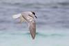 Common tern, Sterna hirundo, Winter, La Digue, Seychelles, Feb-2014