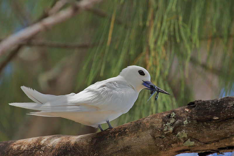 Common White-tern, Silketerne, Gygis alba, Cousin island, Seychelles