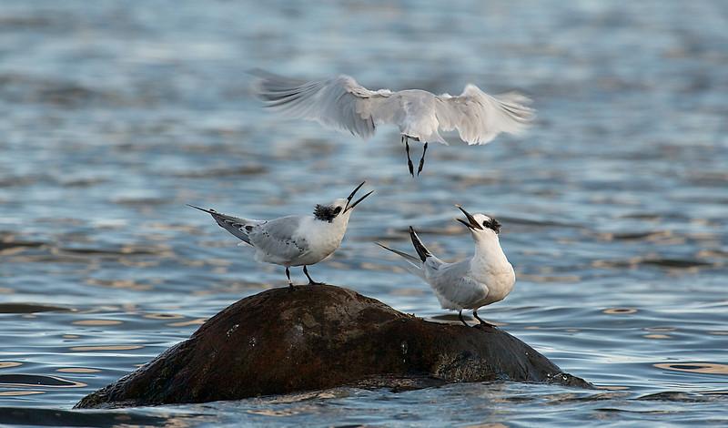 Sandwich Tern, Splitterne, Sterna sandvicensis, Adult summer, Juvenile, Nivå, Danmark