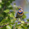 Bluethroat, Blåhals, Luscinia svecica, adult male, Abisko (S), July-2014