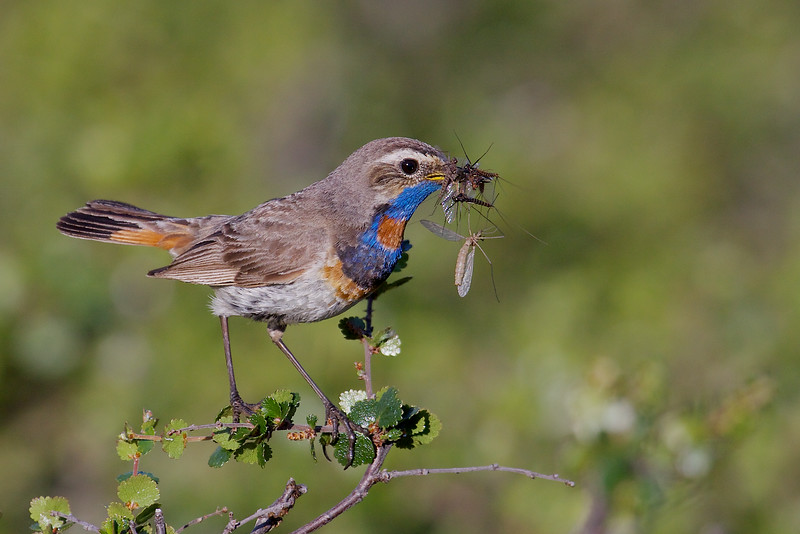 Bluethroat, Blåhals, Luscinia svecica, adult male, Unna Allakas (S), July-2014