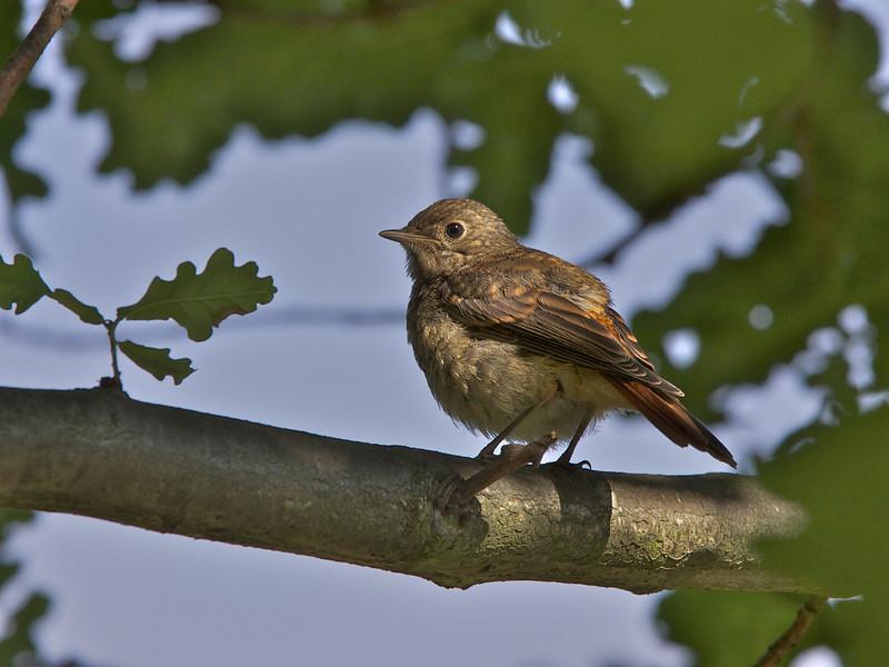 Common Redstart, Rødstjert, Fledgling, Gl. Holte, Danmark, Jul-2012