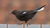 Eurasian blackbird, Solsort, Turdus merula, Gl. Holte, Danmark, Mar-2009