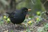 Eurasian blackbird, Solsort, Turdus merula, Gl. Holte, Danmark, Feb-2015