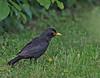 Eurasian Blackbird, Solsort