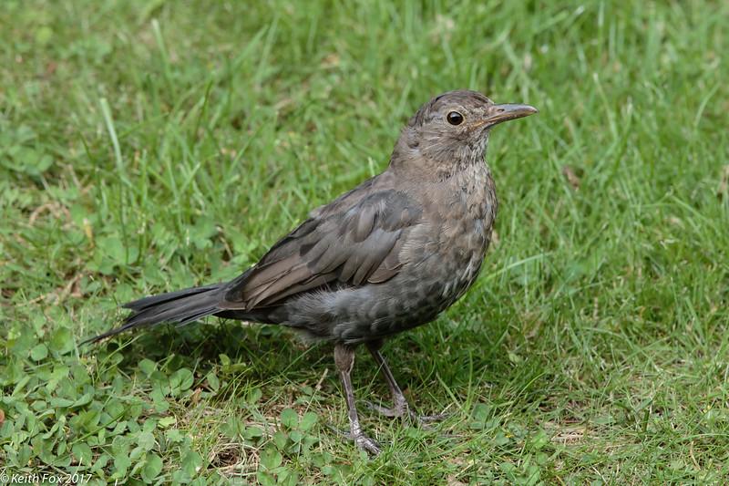 Eurasian blackbird, Solsort, Turdus merula, Gl. Holte, Danmark, Aug-2017