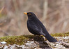 Eurasian blackbird, Solsort, Turdus merula, Vaserne, Danmark, Apr-2013