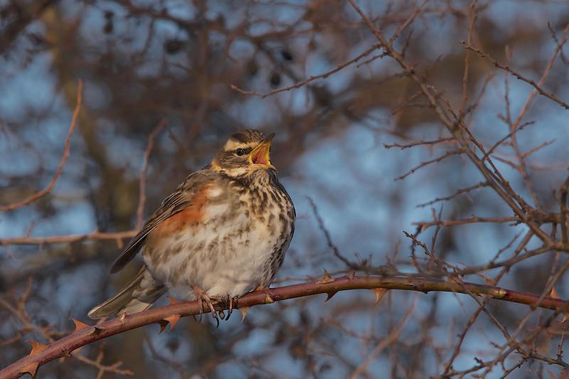 Redwing, Vindrossel, Turdus iliacus, Holte, Danmark, Jan-2010
