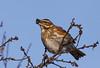 Redwing, Vindrossel, Turdus iliacus, Gl. Holte Danmark, Jan-2010