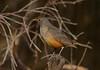 Rufous-bellied thrush, Zorzal, Turdus rufiventris, Carmelo, Uruguay, Dec-2012