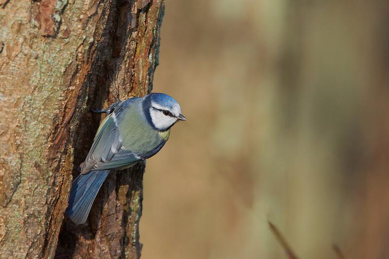Blue tit, Blåmejse, Parus caeruleus, Holte, Danmark