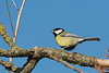Great tit, Musvit, Parus major, Nivå, Danmark