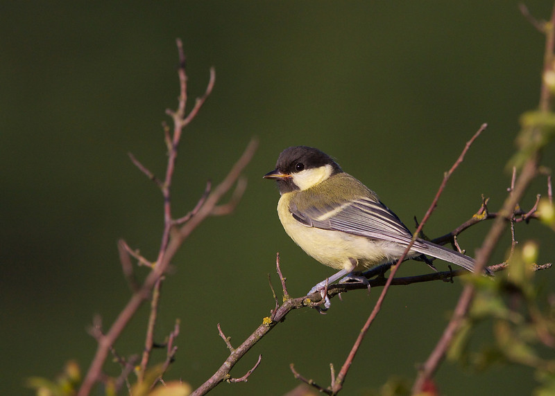 Great tit, Musvit, Parus major, Holte, Danmark