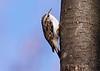 Eurasian Treecreeper, Træløber, Holte, Danmark
