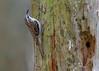 Eurasian Treecreeper, Træløber