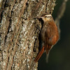 Narrow-billed woodcreeper, Aranero chico, Lepidocolaptes angustirostris, Carmelo, Uruguay, Dec-2012