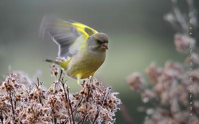 Grønnfink i landinga