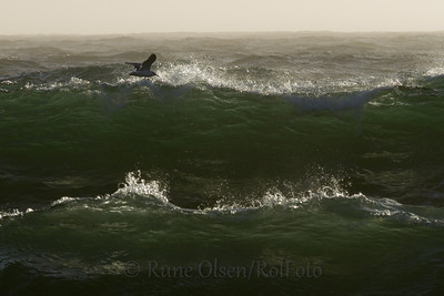 Gråmåke og smaragdgrønne bølger