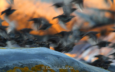 Kråkefugl, stær og varslere