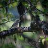 Trepiplerke i fjellbjørkskog