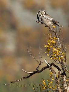 Haukugle i høstkledd fjellbjørk