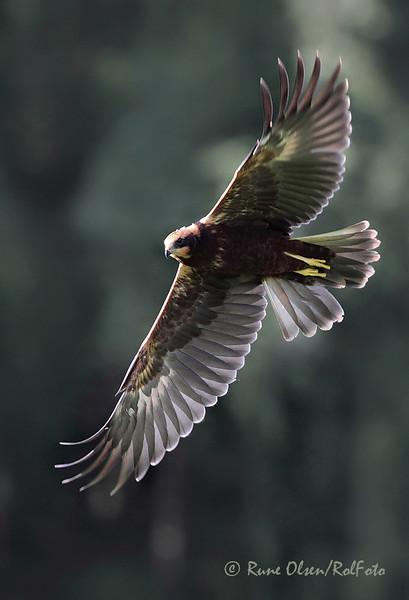 Sivhauk med gjennomlyste vinger
