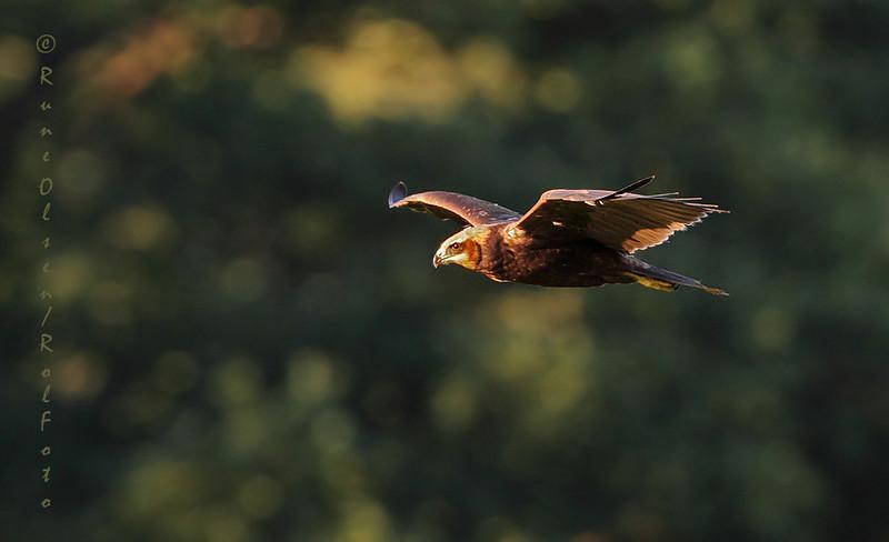 Sivhauk i lavt kveldslys
