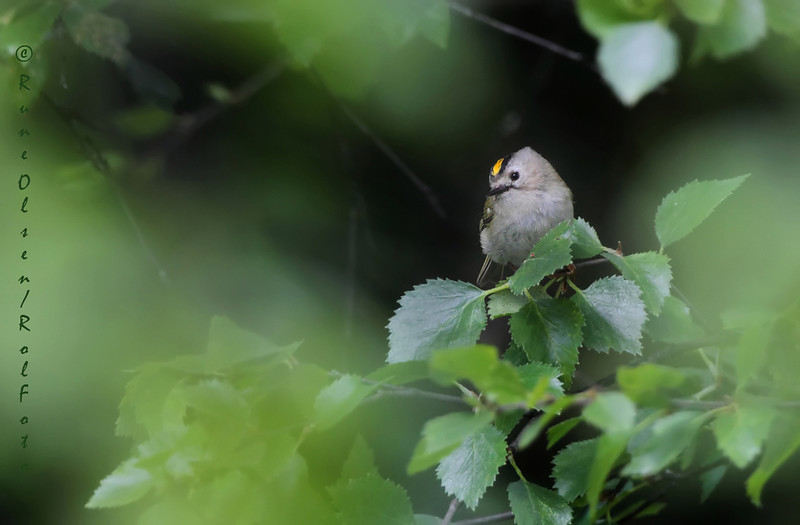 Fuglekonge i fjellbjørk