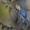 Fuglekonge og skjegglav
