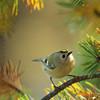 Fuglekonge i høstmiljø