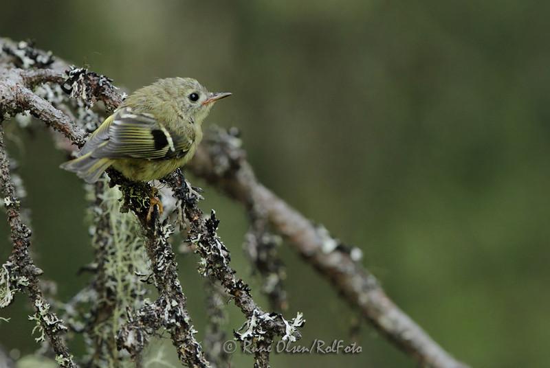 Juvenil fuglekonge på tørrgrein