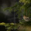 Fuglekongen i barskogen