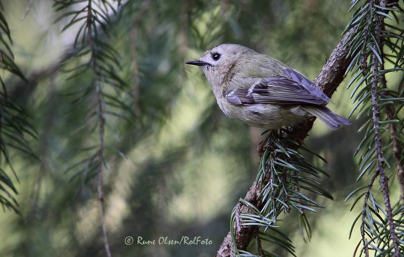 Fuglekonge i barskogsmiljø