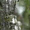 Ung fuglekonge i gammelskogsmiljø